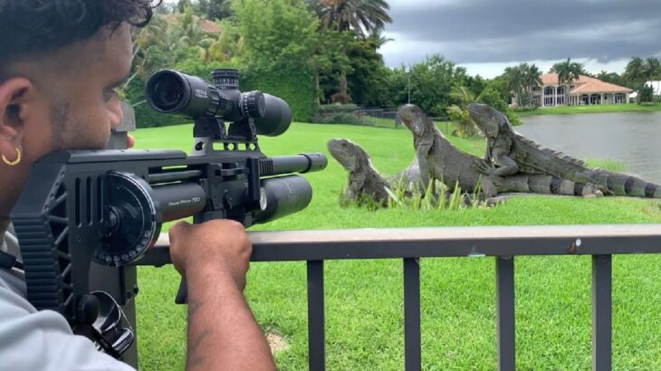 Clearing Out a Field of iguanas with my FX impact M3! Iguana Removal Job!!